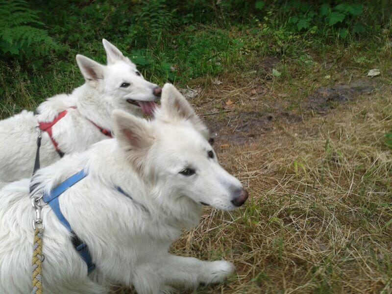 Foto von zwei Hunden beim Spazierengehen.