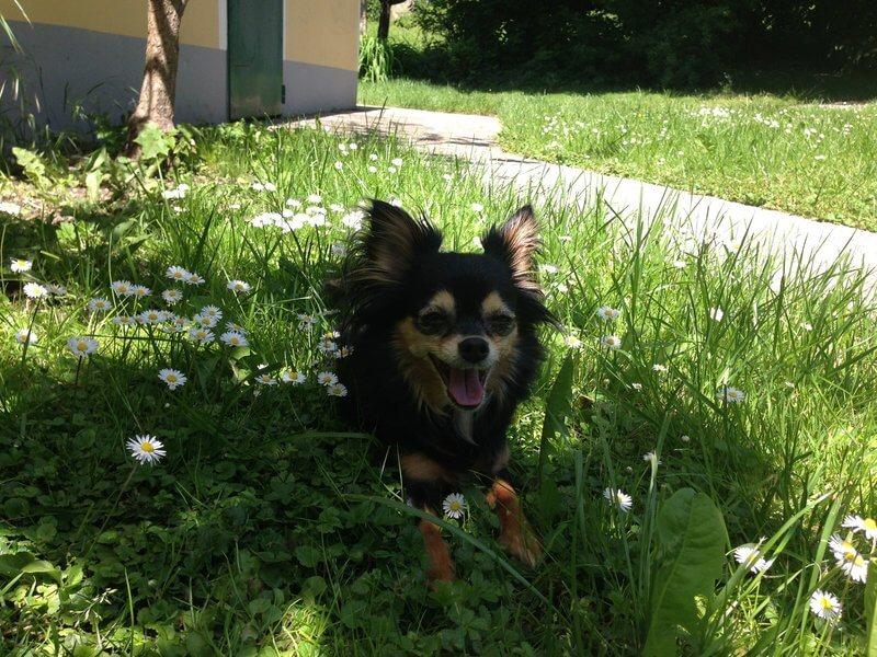 Chihuahua Mocca