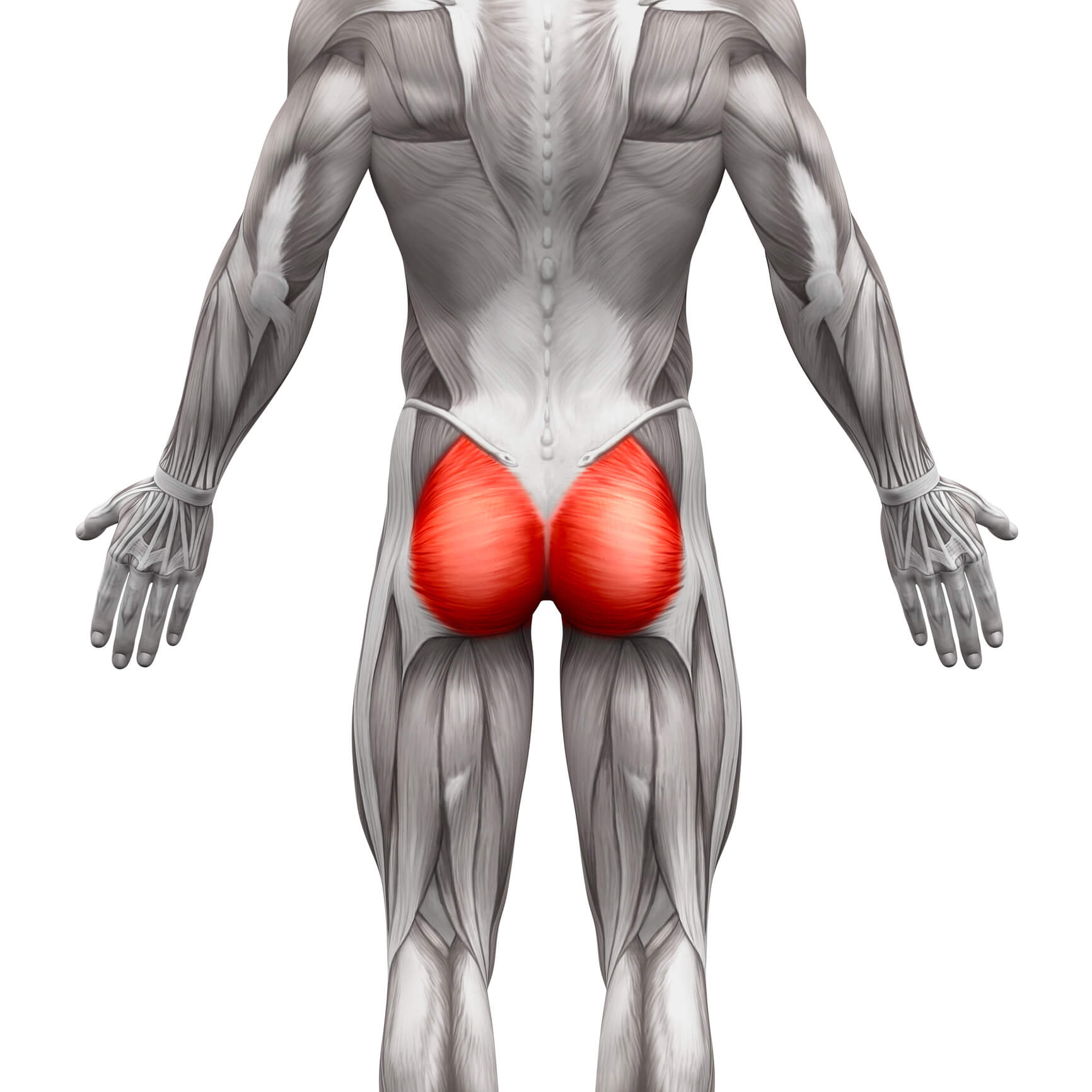 Anatomic picture of glutes.