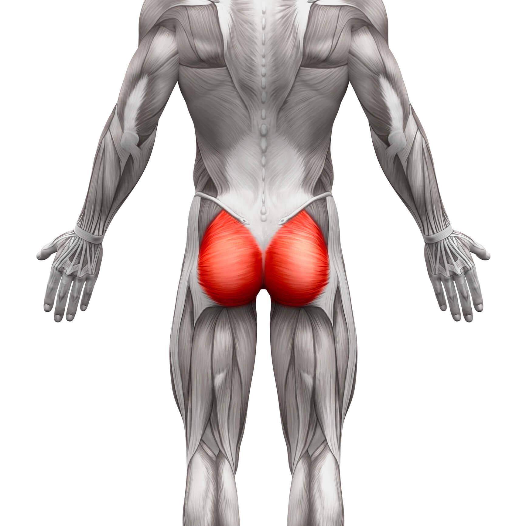 Anatomische Zeichnung der Gesaeßmuskulatur