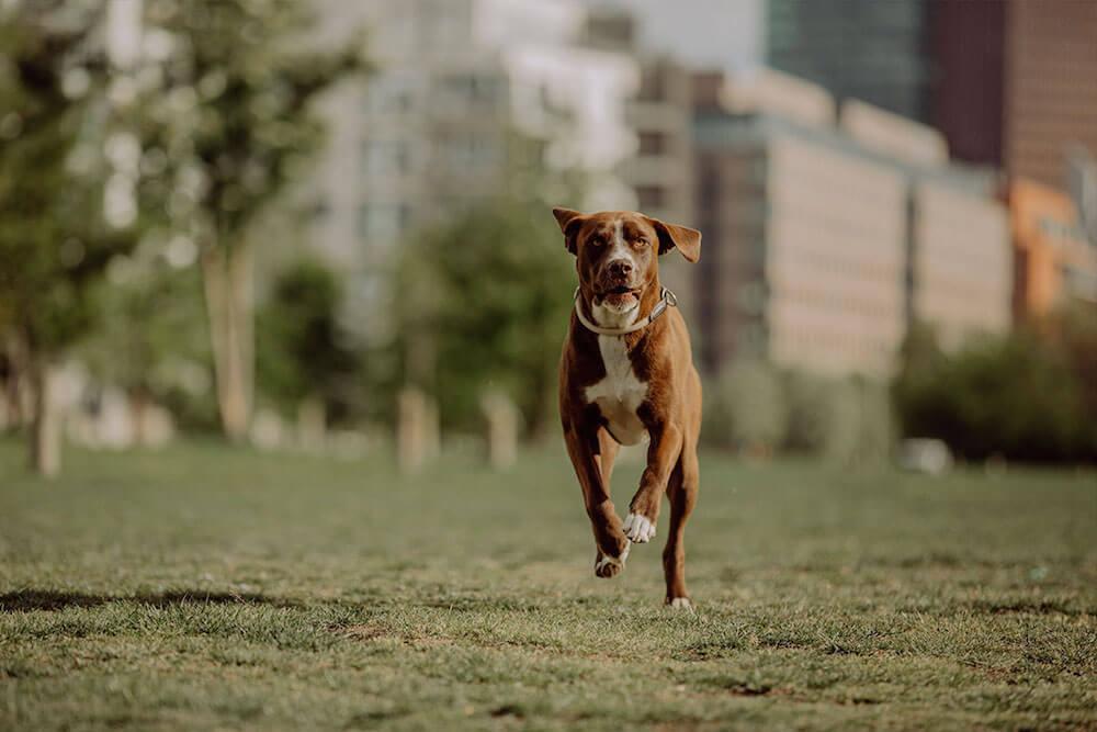 Un chien court
